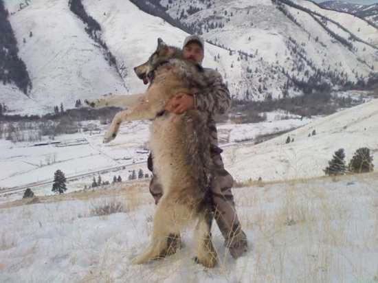 巨大オオカミ