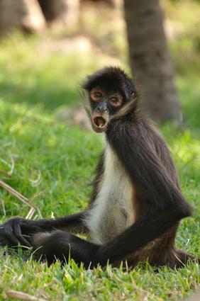 未知の類人猿「モノス」