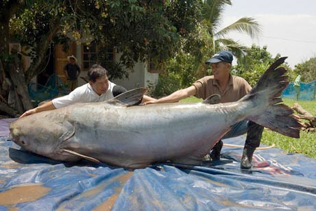 実在した巨大生物・メコン川のナマズ