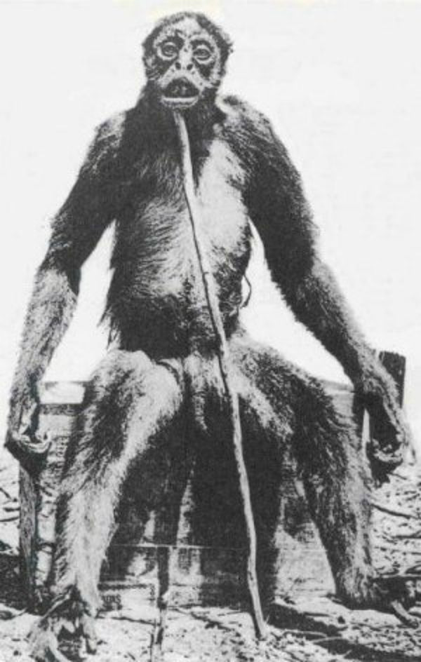 モノス 手足が非常に長く、全身は毛で覆われています。 写真では起き上がって... 未知の類人猿「
