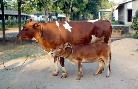 世界一小さい牛