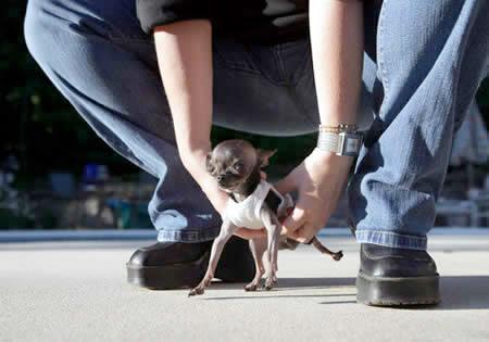 世界一小さい犬
