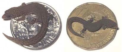 smallest-lizard