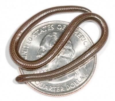 世界一小さいヘビ