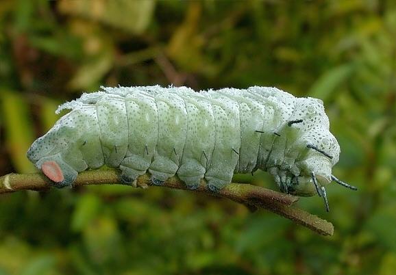 ヨナクニサンの幼虫