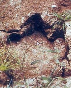 モケーレ・ムベンベの足跡