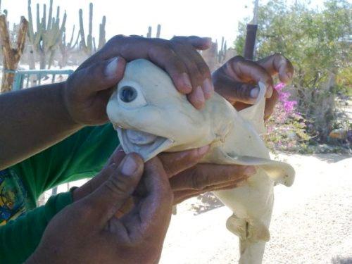 目玉がひとつのサメ