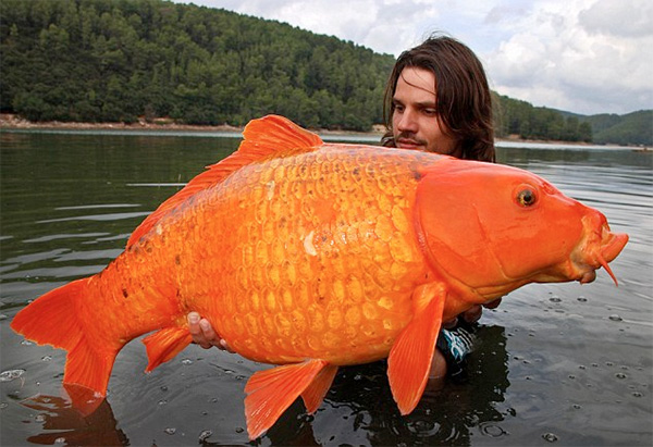 巨大金魚の画像