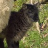 アイルランドでヤギとヒツジの合いの子生まれる
