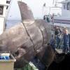 マンボウは世界最大の硬骨魚で刺し身で食べてもおいしい?