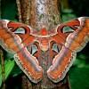世界最大級の蛾「ヨナクニサン」はモスラの生みの親?