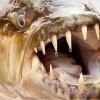 コンゴの人食い魚「ムベンガ」