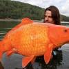 フランスで釣り上げられた巨大金魚?